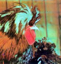 Золотистый падуан из коллекции Б. Т. Лисоввнко