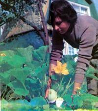Выращивание патиссонов
